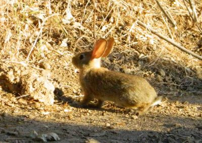 cottontail rabbit- tsiu